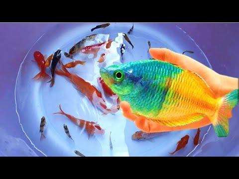 Cute Animals Fish Betta Carp Guppy Angelfish Goldfish Koifish Petfish Koi Fish|My Country Animal