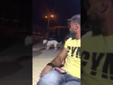 Dogo argentino attack ağır çekimde izleyin - YouTube