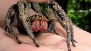 7 Nightmarish Spiders You'll NEVER Want to Encounter