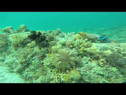 Crown of Thorns Verde Island Passage, Philippines