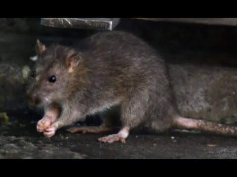 """Breaking """"Japan's Rat-Apocalypse"""""""