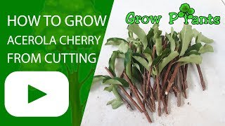 How to grow Acerola cherry from cutting
