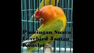 Download lagu Suara Pendongkrak Birahi Bunyi Lovebird Konslet