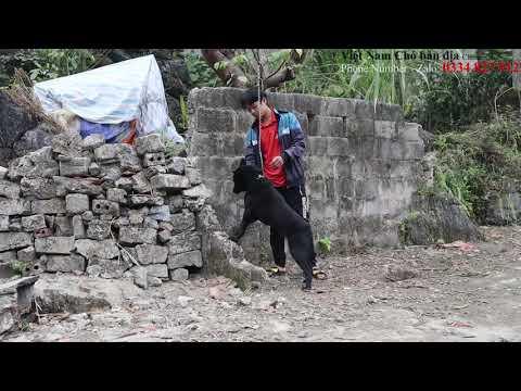 Chó H'Mông Cộc Đuôi Gen thuần chủng/CHÓ SĂN TRÊN BẢN NGƯỜI H'MÔNG CÒN SÓT LẠI/Việt Nam Chó bản địa