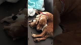 10月20日にイングリッシュコッカースパニエルの子犬が産まれました。 レ...