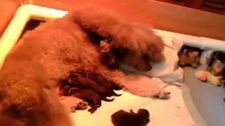 7/7/14: Aidan X Java Standard Poodle Pups