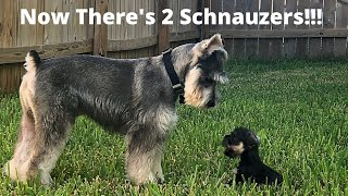 Miniature Schnauzer Madness! Should We Have Introduced Another Cute Mini Schnauzer Into The Family?
