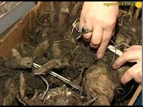 Как сохранить георгины зимой в погребе