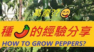 """辣椒高產的秘訣在哪裡?我種辣椒的經驗分享:✂✂ 剪枝剪的""""五官端正""""的辣椒才高產???? -- HOW TO GROW PEPPERS?"""