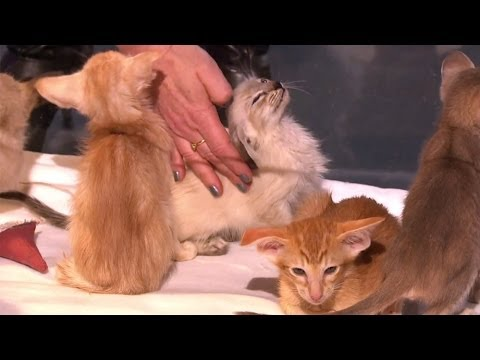 Cute Oriental Kittens for Science! // Life Fantastic 2013 CHRISTMAS LECTURES