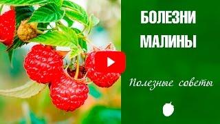 Болезни малины ✅ Как лечить от хлороза и антракноза ❗ Советы от эксперта HitsadTV