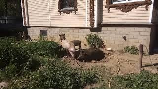 Свиное детское порно