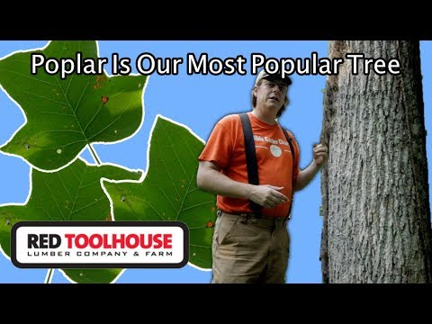 Ep152: Tulip Poplar - The workhorse tree on our homestead