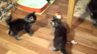 Котята мейн кун 1 месяц