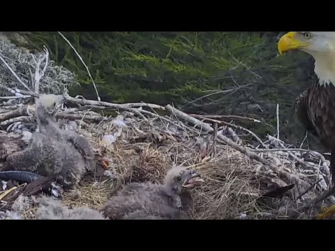 Nest Cam Captures Family of Bald Eagles in Shock During California Earthquake