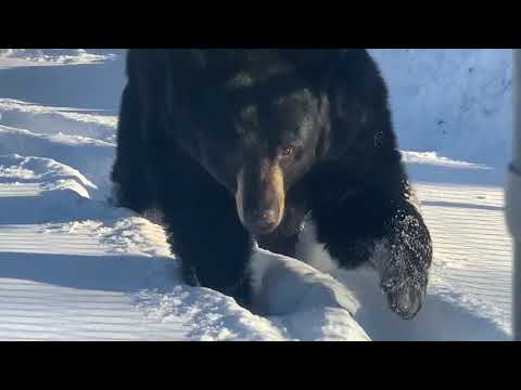 The bears always walk in each other's footsteps in deep snow. Pretty cool to watch.