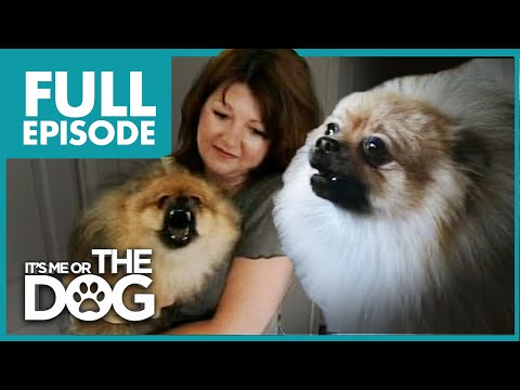 Monster Pomeranian: Teddy Pom-Pom | Full Episode | It's Me or the Dog