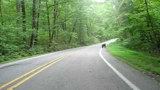 Black Bear vs Harley Davidson pig trail