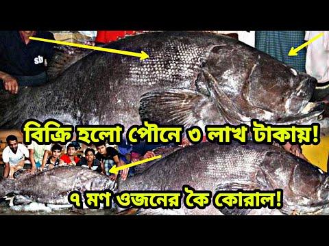 মানুষের থেকেও সাইজে বড় কই মাছ!!!! ৭ মণ ওজনের বিশাল কই মাছের দাম পৌনে ৩ লাখ | Largest Fish | SOME