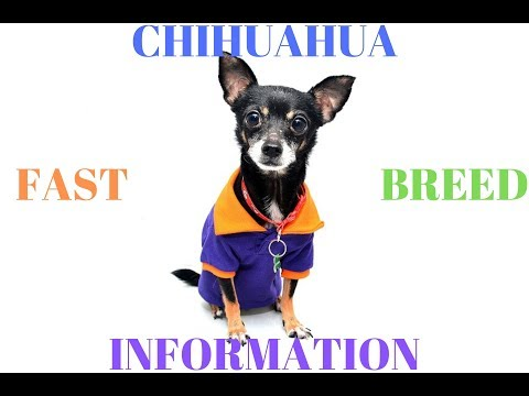 Chihuahua Dog Breeds Information, Origin, History, Appearance, Temperament, Health