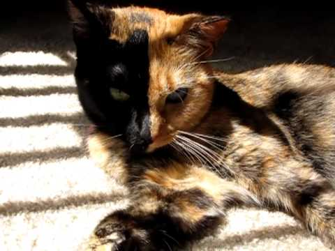 Thumbnail for Cat Video Venus the Chimera Cat