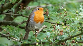 One Hour Relaxing Birdsong: European Robin