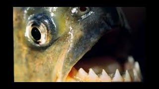 TOP 10 animais aquáticos mais perigosos da Amazônia