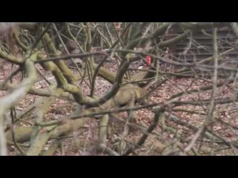 Der Ur Forst, Fällung der Eiche