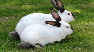 Разведение кроликов породы русский горностаевый как бизнес идея | Русский Горностаевый кролик