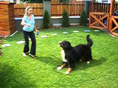 Berni pásztor gyakorlatok 3. /Bernese Mountain Dog Practice Part 3.
