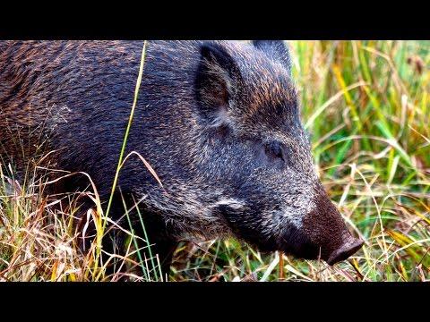 Fukushima's Radioactive Wild Boars Wreak Havoc in Japan