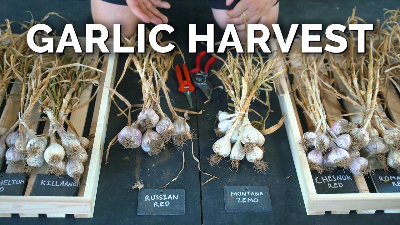 How to Grow Garlic   Garlic Scapes, Harvesting, & Curing (Part 3)