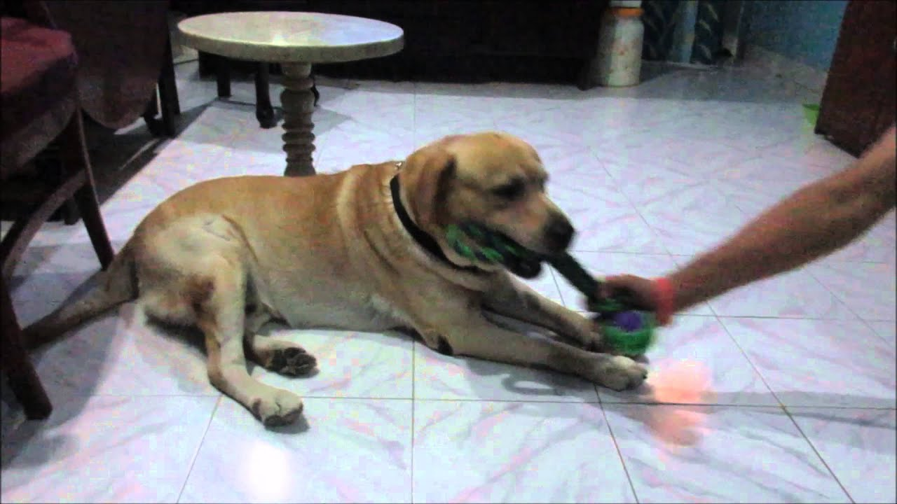 A 6 year old Male Yellow Labrador Retriever Gets Excited over a
