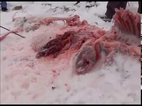 Волки съели алабая в Карелии