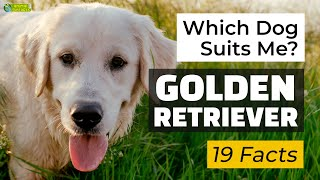 Is a Golden Retriever the Right Dog Breed for Me? 19 Facts About Golden Retrievers!