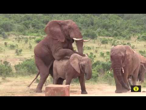 Elephants mating in Africa