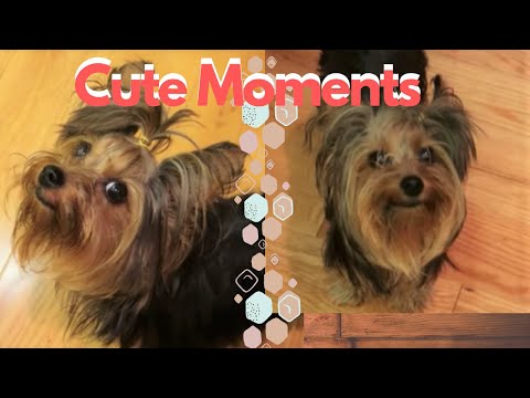 Yorkshire Terrier Cute Moments