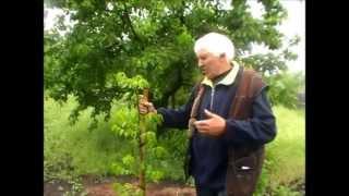 Армянский грецкий орех, 16 мая 2013(Армянский грецкий орех , 16 мая 2013. Посадка этого дерева просходило в декабря 2012 года - http://youtu.be/aKIMmddDFek Мастер-..., 2013-05-19T18:37:49.000Z)