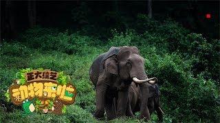 [正大综艺·动物来啦]在野外遇到亚洲象应该怎么办?  CCTV