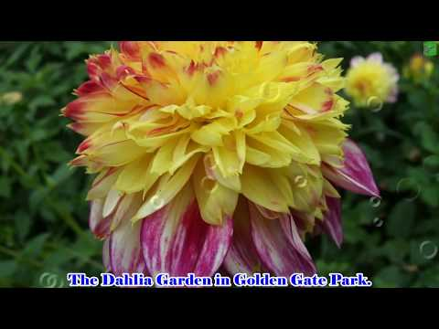 Travel to United States : Dahlia Flowers  at the Dahlia Garden  in Golden Gate Park.