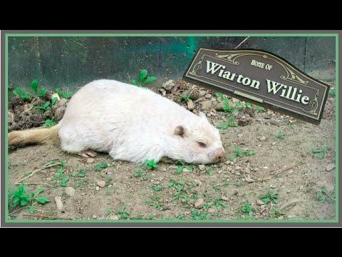 WIARTON WILLIE!