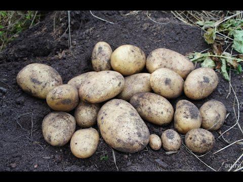 "Картошка. Копаем Сорт ""Удача"""