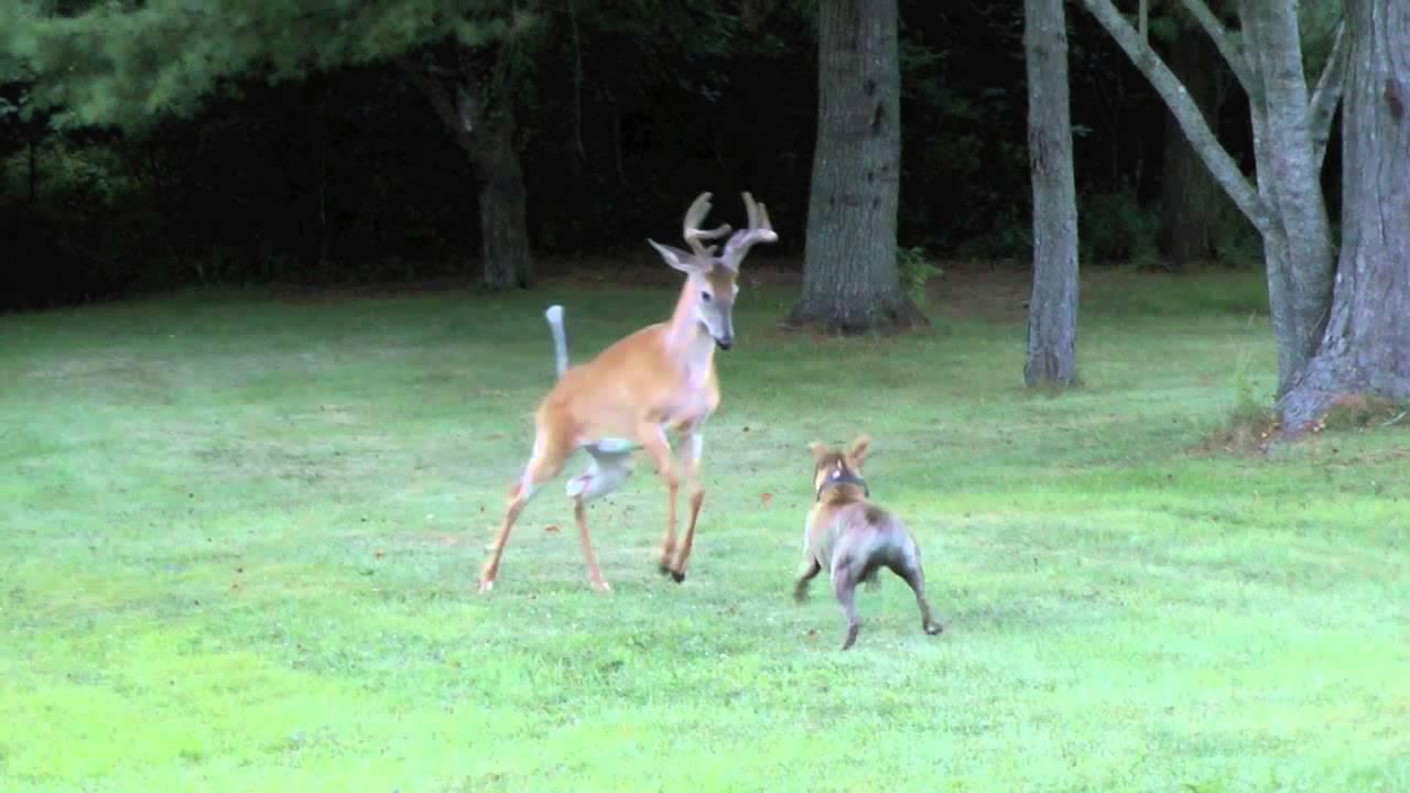 Download Bosco versus deer