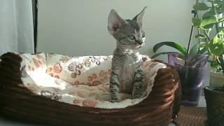 Котёнок девон-рекс Usher