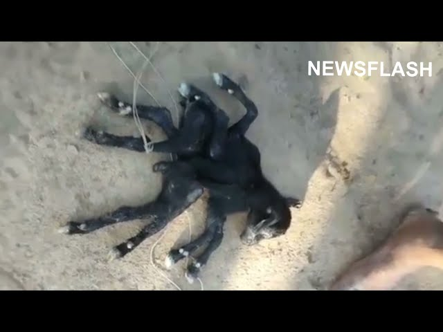 Goat Gives Birth To Mutant 8 Legged Spider-Kid