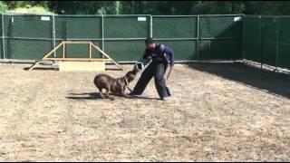Citizen K9 Protection Dog Training With Sareena (cane Corso)
