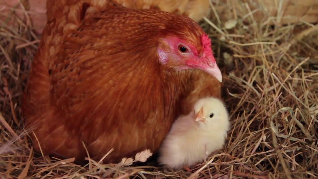 Our Chickens Hatching!! - YouTube