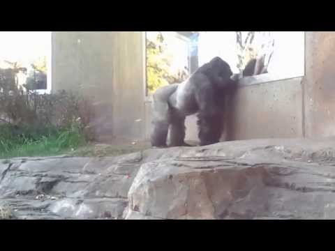 Crazy! Silverback Attacks Glass Then Stares Right At Me