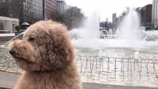 Instagram→http://Instagram.com/s_poodle_mukku 【Transcendent fluffy...