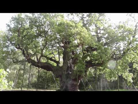 The Major Oak,Sherwood Forest,Robin Hood Country